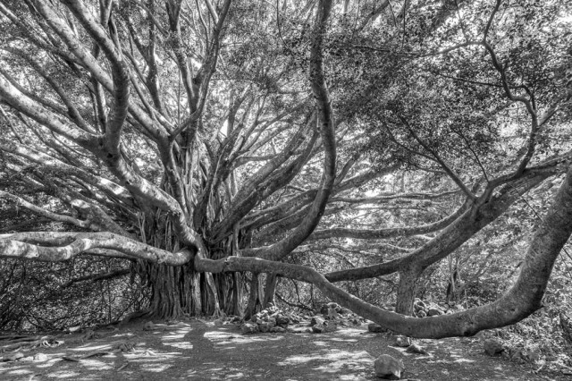 Grand-Banyan- Maui, Hawaii- 216117-1695