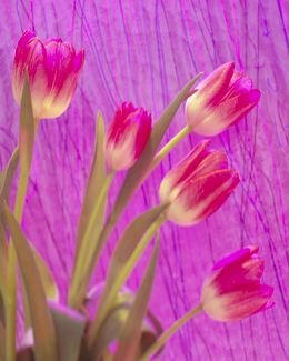 Tulips and Streamers